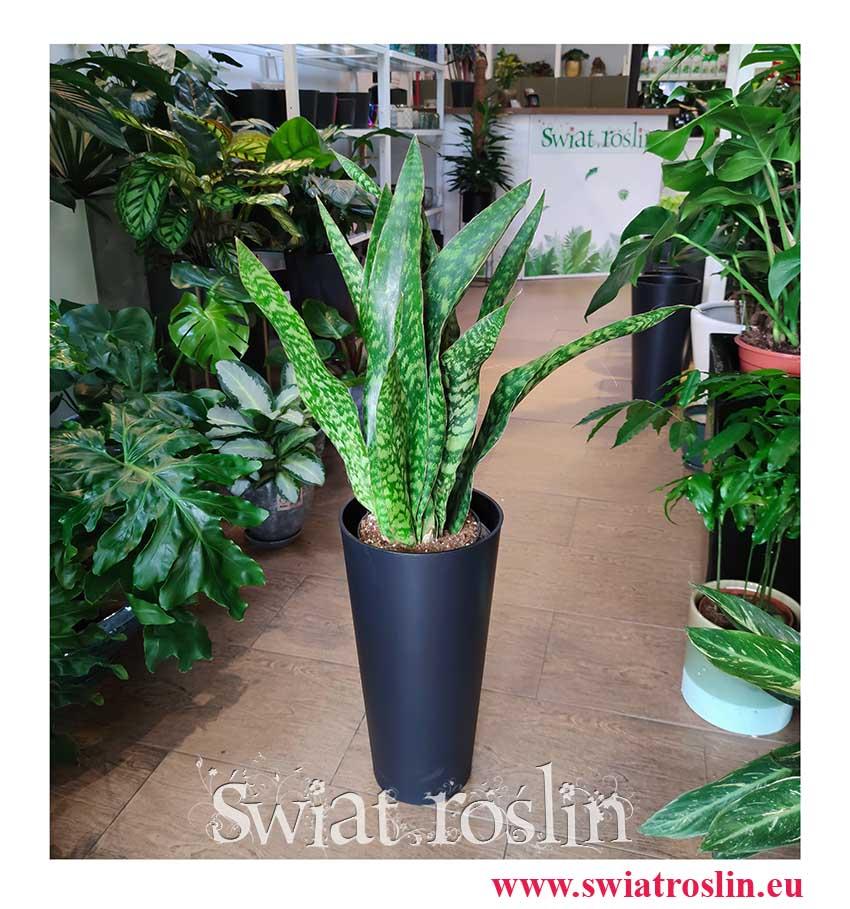 Sansevieria Dragon, Sansevieria Aubrytiana Dragon, Sansewieria Dragon, rośliny tropikalne, rośliny egzotyczne