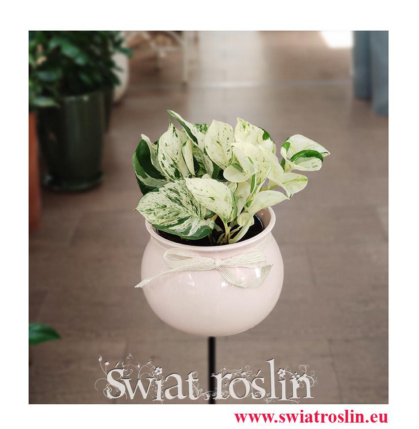 Scindapsus Happy Leaf, Epipremnum Happy Leaf, modne rośliny, rośliny na parapet, rośliny z instagrama