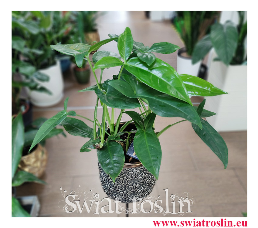 Syngonium Trileaf Wonder, Syngonium Auritum, Zroślicha Uszkowata, rosliny na zielony parapet, rośliny tropikalne