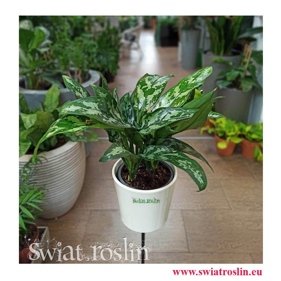 Aglonema Maria, Aglaonema Maria, rośliny kwiaty doniczkowe sklep internetowy, rośliny do biura, firmy, hotelu, mieszkania