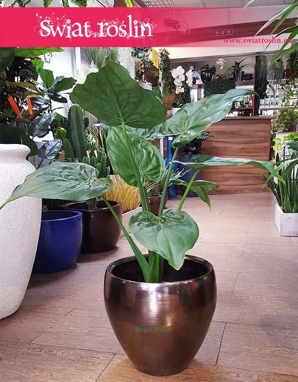 Alokazja Cucullata, Alocasia Cucullata, sklep z roślinami, świat roślin, rośliny kraków