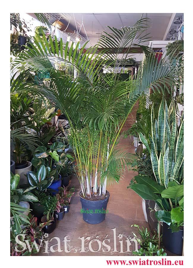 Areka Żółtawa, Areca Lutescens Dypsis, rośliny do salonu, do biura, do hotelu