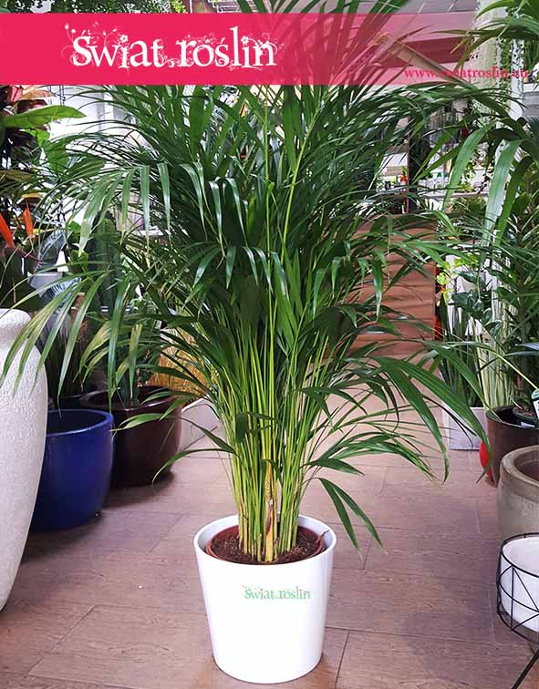 Areka Żółtawa, Areca Lutescens Dypsis, rośliny doniczkowe, rołsiny do biurowca, do firmy