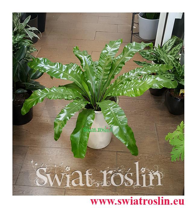 Asplenium Antiquum, Zanokcica, Kwiaty doniczkowe, rosliny doniczkowe, sklep z roslinami kwiatami doniczkowymi, Kraków rośliny