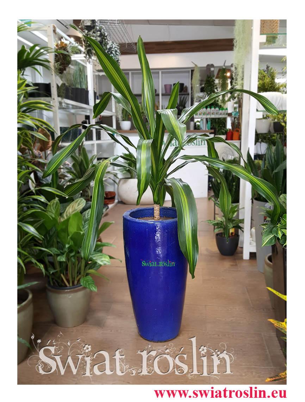 Dracena Burley, Draceana Burley, świat roślin, kwiaty doniczkowe