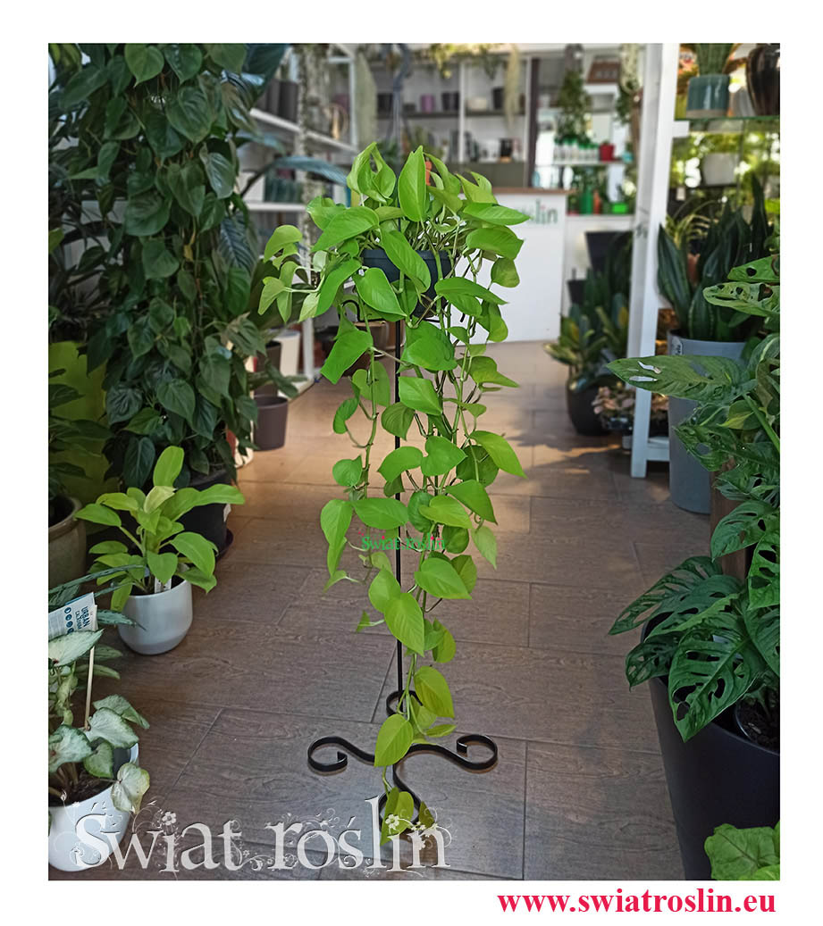 Epipremnum  Scindapsus Golen Pothos, Epipremnum  Scindapsus Neon Neonek