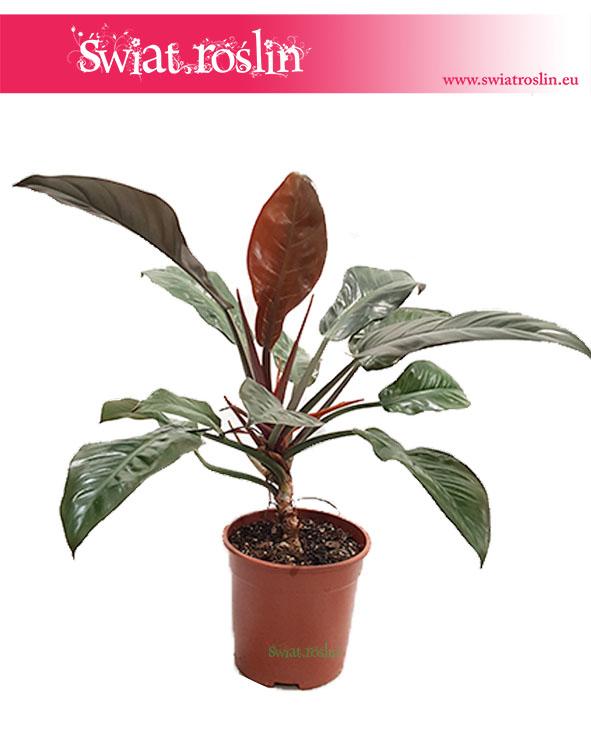 Filodendron Czerwieniejący, Philodendron Imperial Red 1