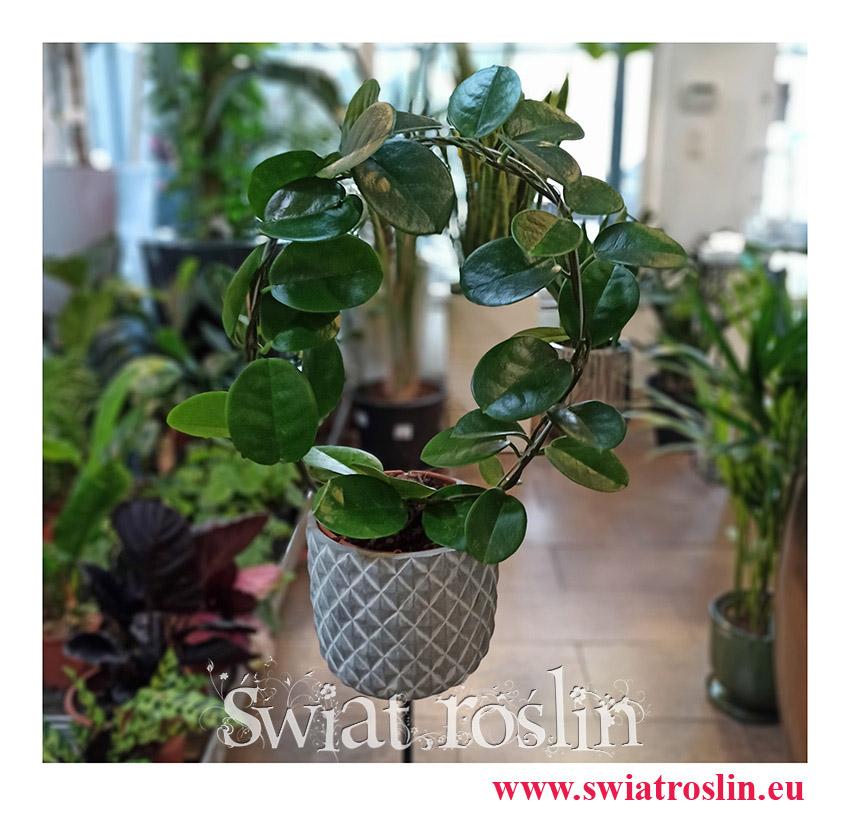 Hoja Australijska, Hoya Australis, Woskownica, rośliny doniczkowe, kwiaty doniczkowe, sklep z roślinami