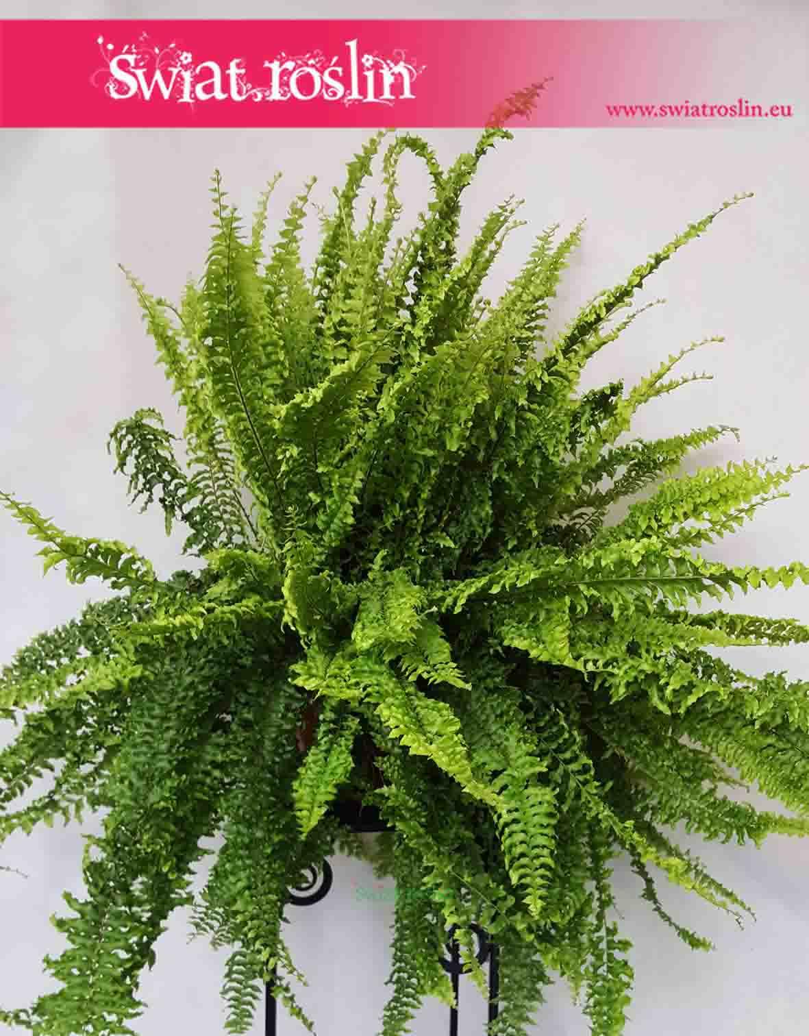 Paproć, Nefrolepis Wyniosły, Nephrolepis Exaltata, Rośliny doniczkowe, rosliny do biura, rosliny do firmy, rośliny do hotelu
