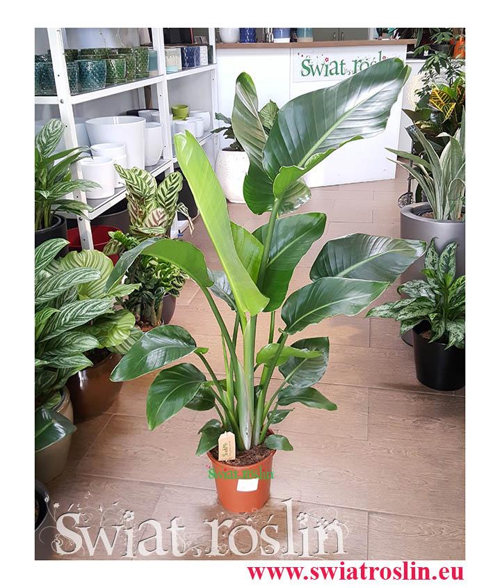 Strelitzia Nicolai, Strelicja Nicolai, Strelicja Biała, rośliny doniczkowe