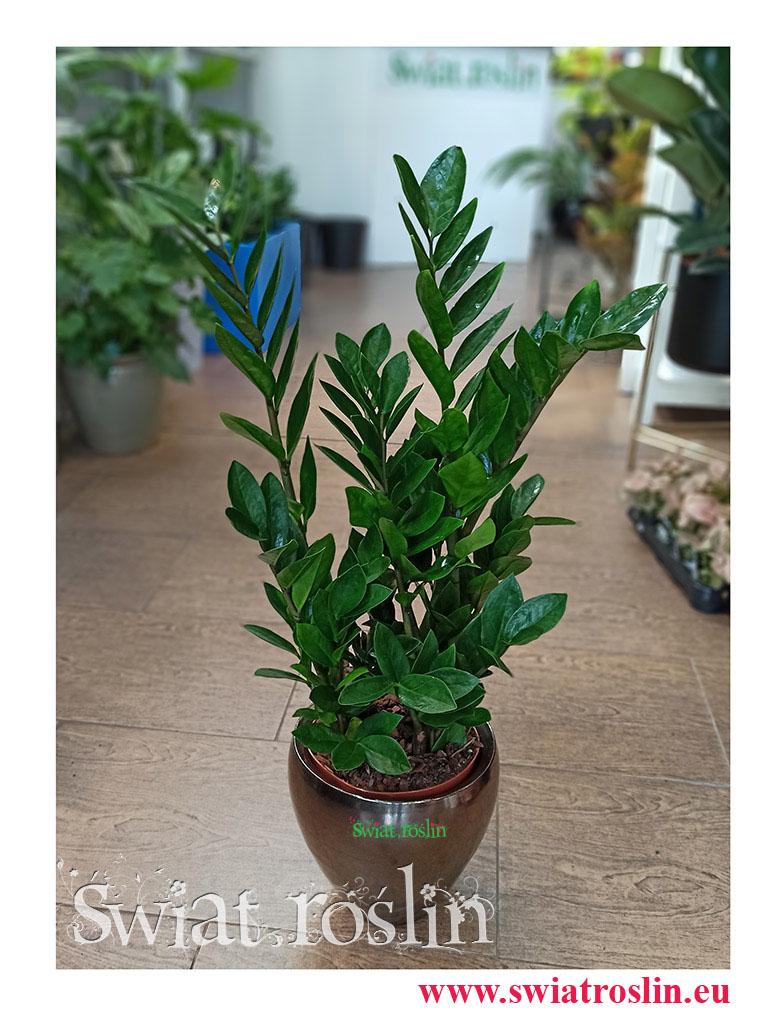 Zamiokulkas Zamiolistny, Zamioculcas Zamiifolia