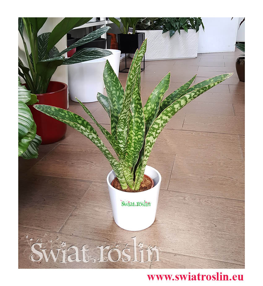 Kwiaty doniczkowe, Cissus Rombolistny Ellen Danica, Cisus Rombolistny Ellen Danica, rośliny doniczkowe Kraków