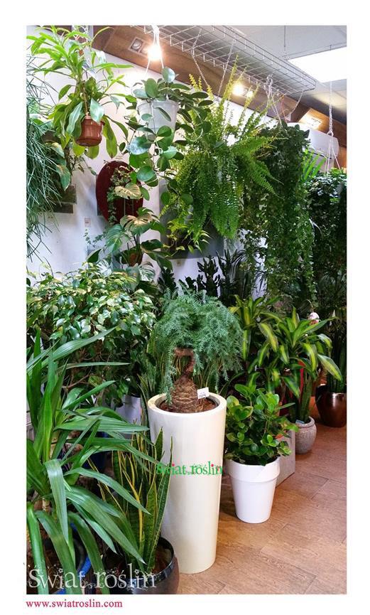 Araukaria, Świat Roślin, rośliny doniczkowe, rośliny Kraków, sklep z roslinami doniczkowymi