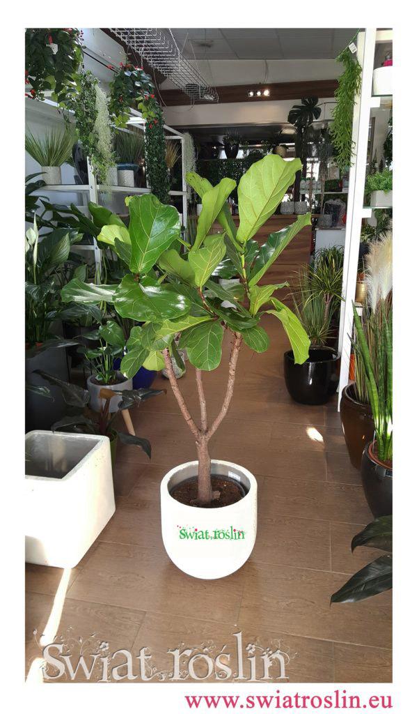 Ficus Lyrata, Fikus Lyrata, Świat Roślin, rośliny doniczkowe, rośliny Kraków, sklep z roslinami doniczkowymi