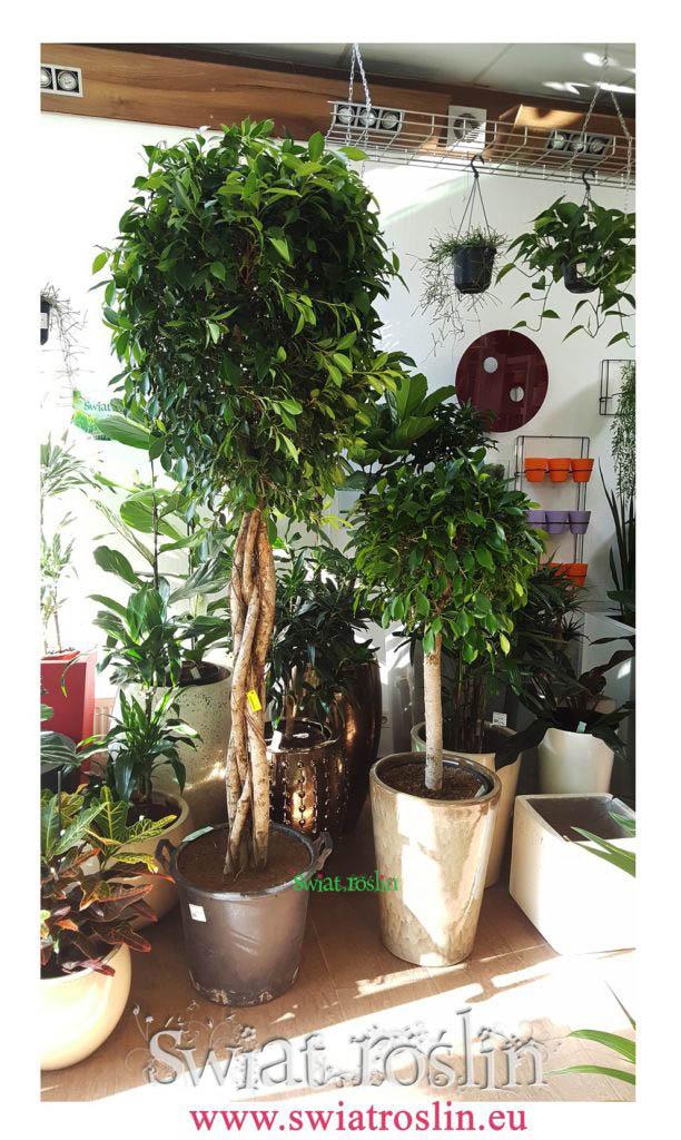 Fikus nitida, Ficus nitida, Świat Roślin, rośliny doniczkowe, rośliny Kraków, sklep z roslinami doniczkowymi