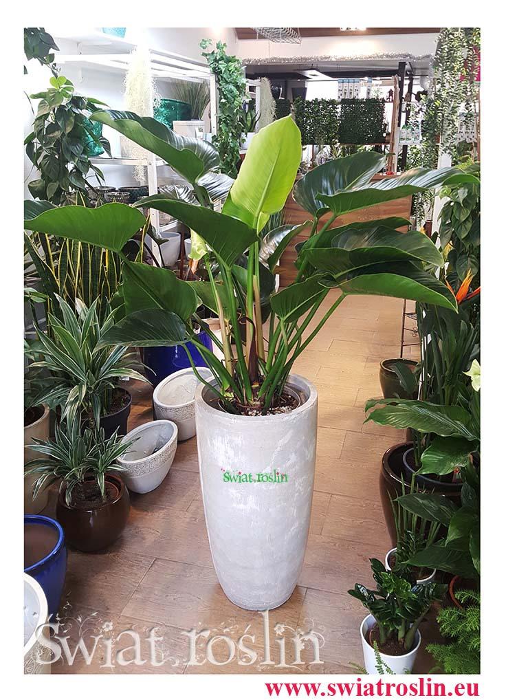Filodendron Green Beauty, Philodendron Green beauty, Świat Roślin, rośliny doniczkowe, rośliny Kraków, sklep z roslinami doniczkowymi