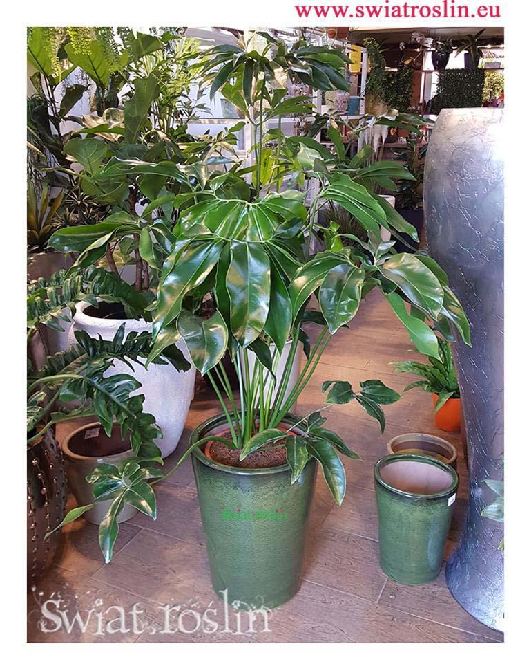 Filodendron Green Wonder, Świat Roślin, rośliny doniczkowe, rośliny Kraków, sklep z roslinami doniczkowymi