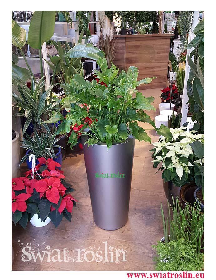 Filodendron little hope philodendron, Świat Roślin, rośliny doniczkowe, rośliny Kraków, sklep z roslinami doniczkowymi