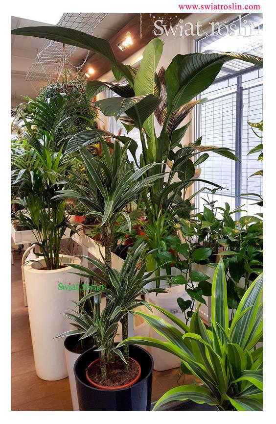 Kentia Dracena Deremensis, Świat Roślin, rośliny doniczkowe, rośliny Kraków, sklep z roslinami doniczkowymi