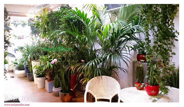 Kentia, Świat Roślin, rośliny doniczkowe, rośliny Kraków, sklep z roslinami doniczkowymi