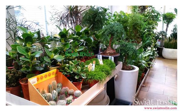 Kluzja, Kaktusy, Świat Roślin, rośliny doniczkowe, rośliny Kraków, sklep z roslinami doniczkowymi