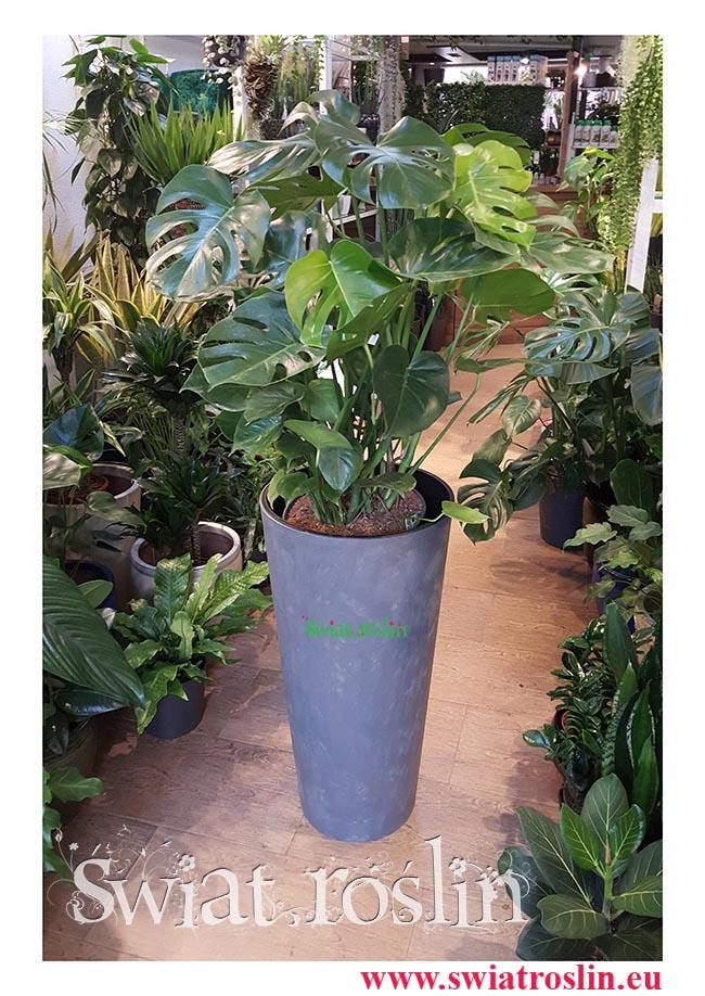 Monstera, Filodendron dziurawy, Philodendron Pertusem, Świat Roślin, rośliny doniczkowe, rośliny Kraków, sklep z roslinami doniczkowymi