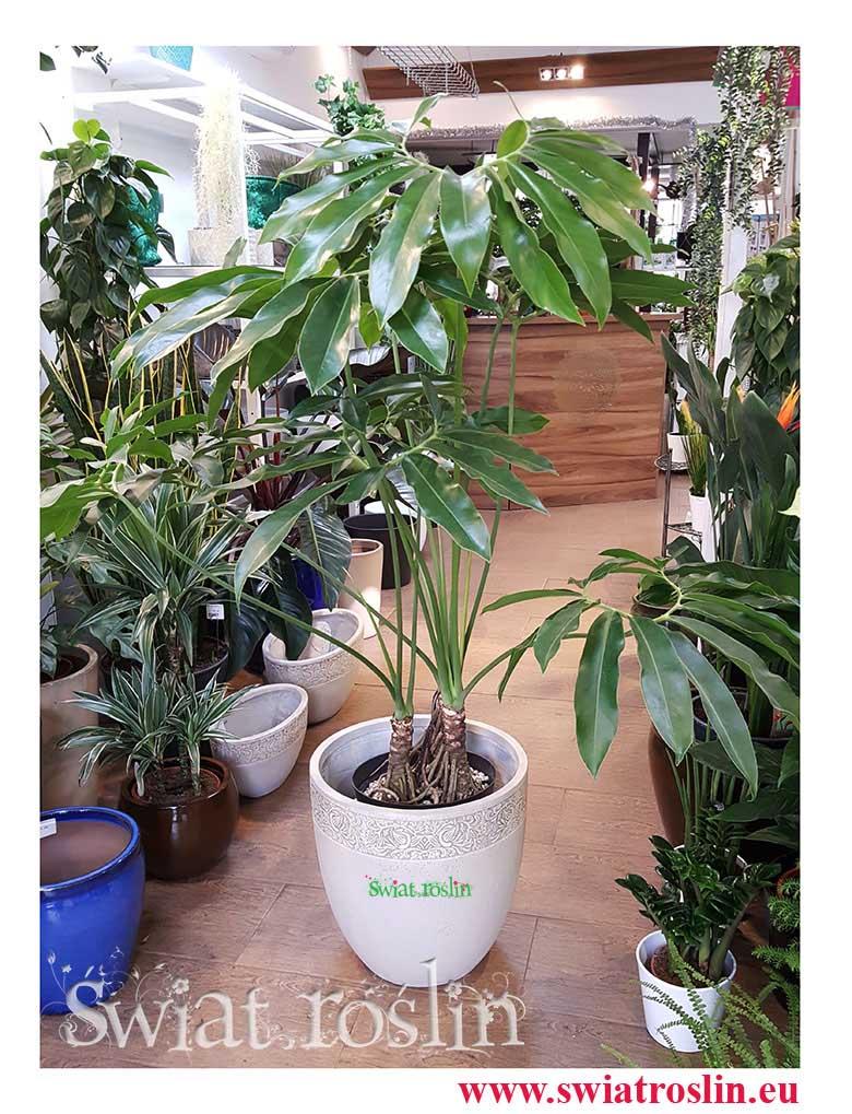 Philodendron Fun Bun, Filodendron fun bun, Świat Roślin, rośliny doniczkowe, rośliny Kraków, sklep z roslinami doniczkowymi