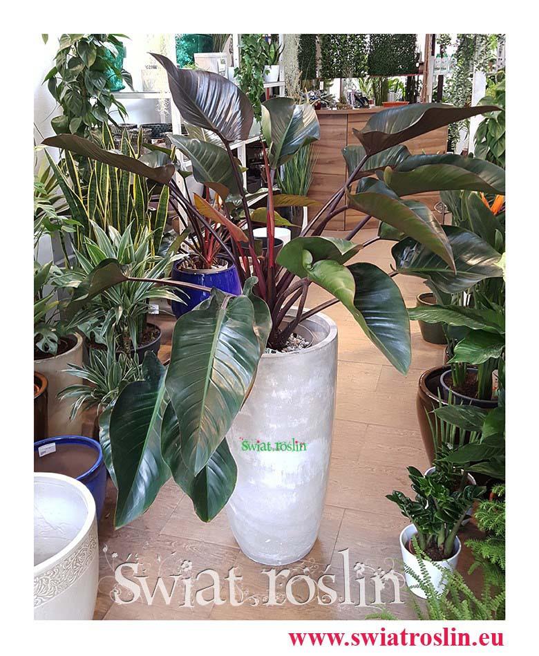 Philodendron Red Beauty, Filodendron Red Beauty, Świat Roślin, rośliny doniczkowe, rośliny Kraków, sklep z roslinami doniczkowymi