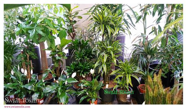 Skrzydłokwiat, Pachira, Dracena, Lemon Lime, Świat Roślin, rośliny doniczkowe, rośliny Kraków, sklep z roslinami doniczkowymi, modne rośliny