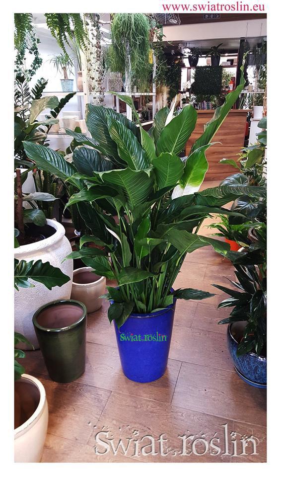 Skrzydłokwiat, sklep z roślinami