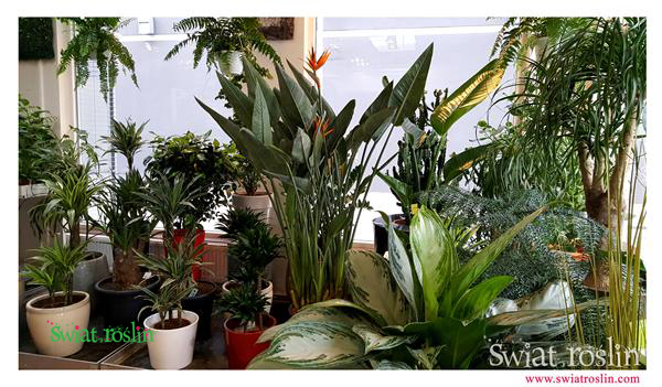 Strelicja Królewska, Aglaonema, Świat Roślin, rośliny doniczkowe, rośliny Kraków, sklep z roslinami doniczkowymi