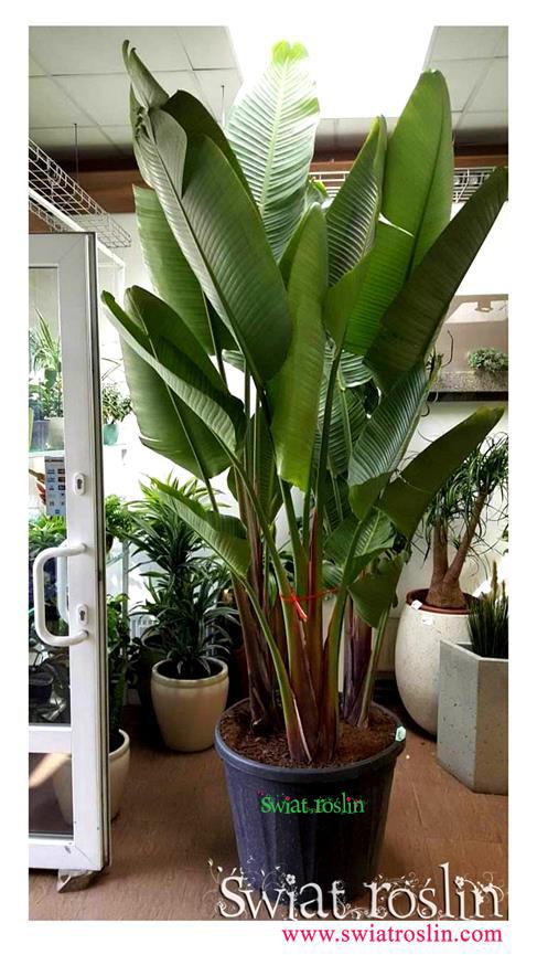 Strelicja Nicolai, Świat-Roślin, sklep z roślinami
