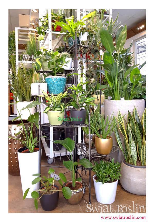 Wilczomlecz ołówkowy, Pilea, Asplenium, Świat Roślin, rośliny doniczkowe, rośliny Kraków, sklep z roslinami doniczkowymi