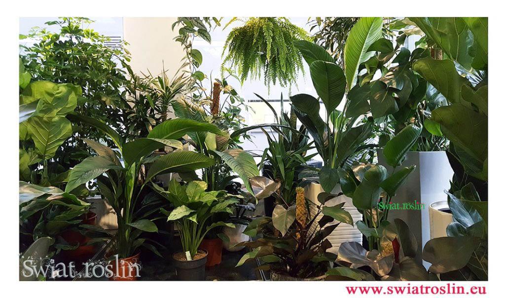 spathiphyllum sensatin, aglaonema freedman, philodendron royal quuen, strelitzia, Świat Roślin, rośliny doniczkowe, rośliny Kraków, sklep z roslinami doniczkowymi