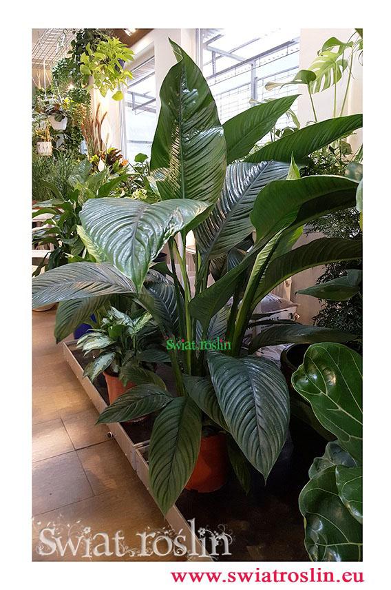 spathiphyllum sensation, skrzydłokwiat sensation, Świat Roślin, rośliny doniczkowe, rośliny Kraków, sklep z roslinami doniczkowymi, sklep z roślinami